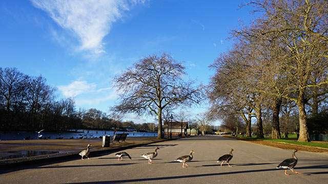 Hyde Park ducks