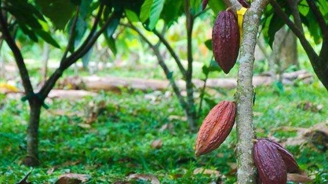25 cocoa plantation (1)