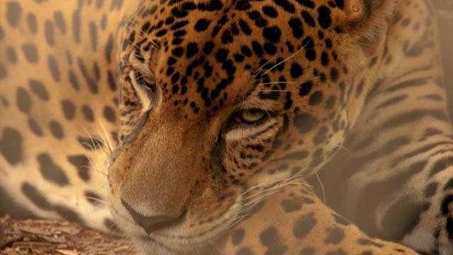 jaguar rescue