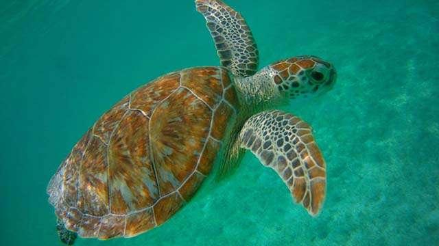 turtle akumal