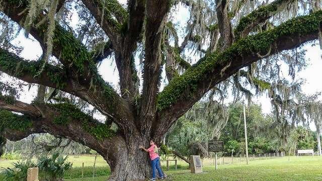 Barton Oak, West Volusia, Florida