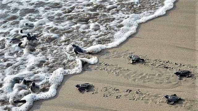 Baby Sea Turtle Release, Todos Santos, Mexico