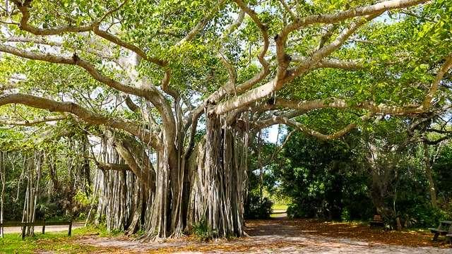 Hug a Banyan Tree
