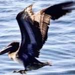 Half Moon Bay Coastside, CA - Pelican