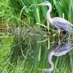 Crane in wetlands