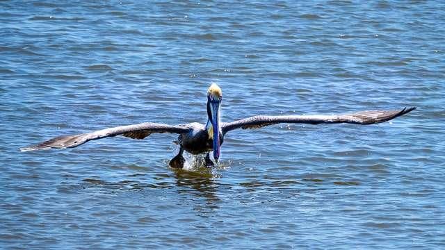 Pelican in Take-off Mode-Ocean Springs MS