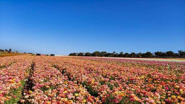 Flower Fields in Carlsbad CA
