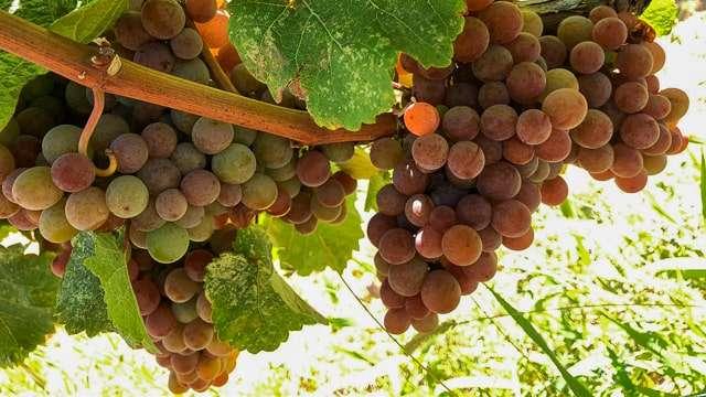 Penticton Vineyard