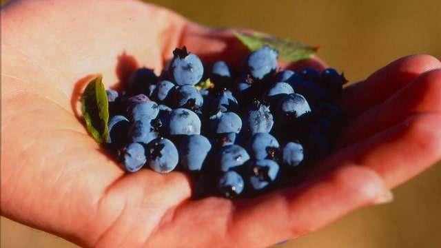Sample Maine Wild Blueberries